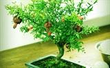 Hướng dẫn cách trồng lựu lùn đơm hoa, hết trái