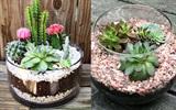 Kỹ năng trồng sen đá và xương rồng trong chén thủy tinh xinh xắn
