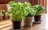 Vườn rau gia vị trong bếp nhỏ ngập nắng