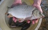 Mẹo vặt giúp khử vị đắng của mật cá cực nhanh và hiệu quả
