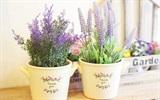 Cách trồng hoa Lavender đẹp lung linh tại nhà