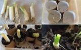 Cách trồng hành lá từ lõi giấy vệ sinh cực hay