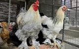 Những giống gà bạc triệu nhiều người tìm mua dịp Tết