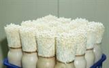 Cách trồng nấm kim châm từ rể bỏ đi chỉ với 2 tuần là ăn được