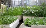 6 loại rau trồng tháng 3 trong thùng xốp ăn mãi không hết