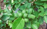 Bí quyết trồng chanh trong chậu cho trái quanh năm