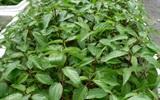 Cách trồng rau đay siêu nhanh siêu sạch tại nhà các mẹ nên học hỏi