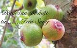 """Bài thuốc """"thần kỳ"""" đánh tan sỏi mật từ trái sung"""