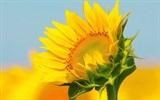 Hoa mặt trời vị thuốc cứu tinh của nhiều bệnh