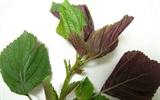 Điểm mặt những loại lá có tác dụng cầm máu hiệu quả