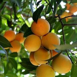 Hưởng ứng mùa thanh trà vàng ươm, tìm hiểu tất tần tật về loại quả này