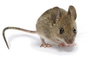Mẹo đuổi chuột hiệu quả mà không cần đánh bã hay nuôi mèo
