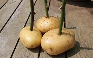 Cách trồng hoa hồng nhàn tênh bằng khoai tây