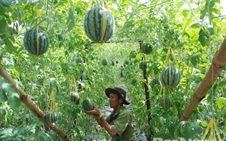 Cách trồng dưa hấu nặng trĩu quả ruột đỏ tại nhà