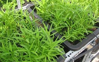 Nông dân thành thị bày cách trồng rau muống trong 18 ngày