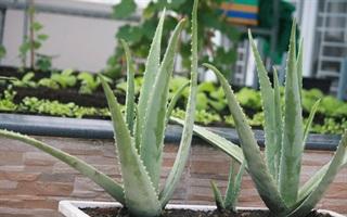 Cách trồng nha đam tại nhà cho cây mập mạp xanh tốt