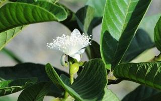 5 Bài thuốc chữa tiểu đường không ai ngờ tới từ cây ổi