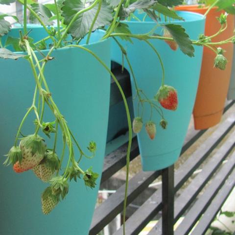 Hướng dẫn trồng dâu tây cho trái chín đỏ mọng tại nhà