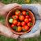 Chia sẻ bí quyết trồng cà chua trĩu quả trong thùng xốp đơn giản nhất