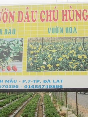 Vườn dâu Chú Hùng - Thánh Mẫu
