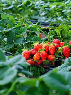 Vườn dâu Bà Lan - Hồ Xuân Hương