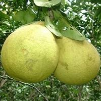 Bưởi năm roi - Văn Minh Việt