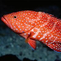 Cá song đỏ(tự nhiên)